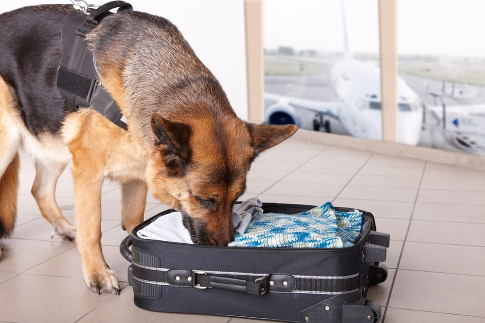 w23-3-Airport Security Dog