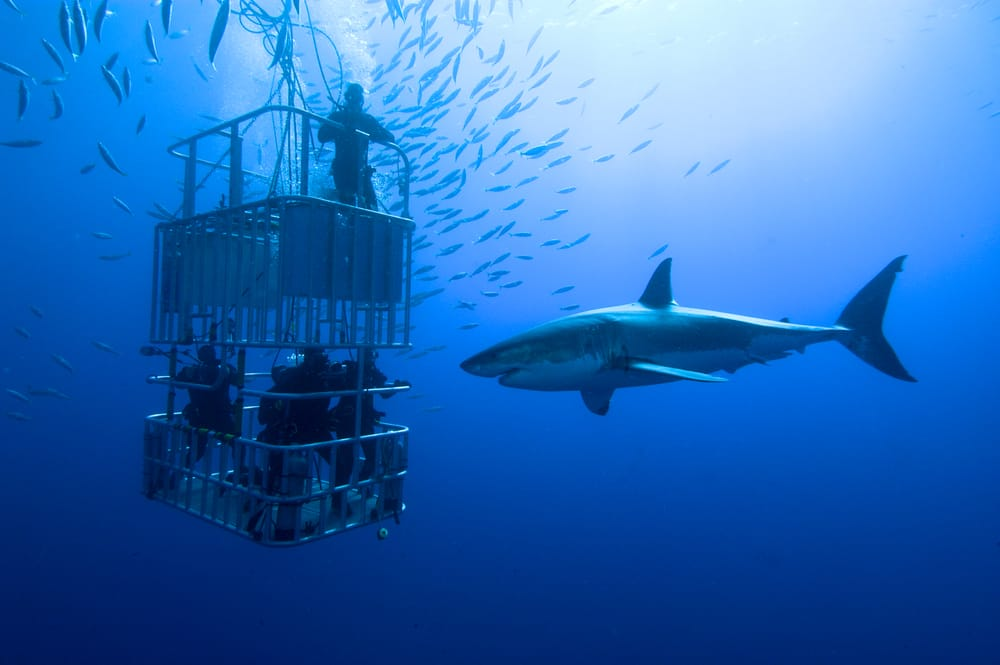 White shark, cage - great white shark swims around the cage