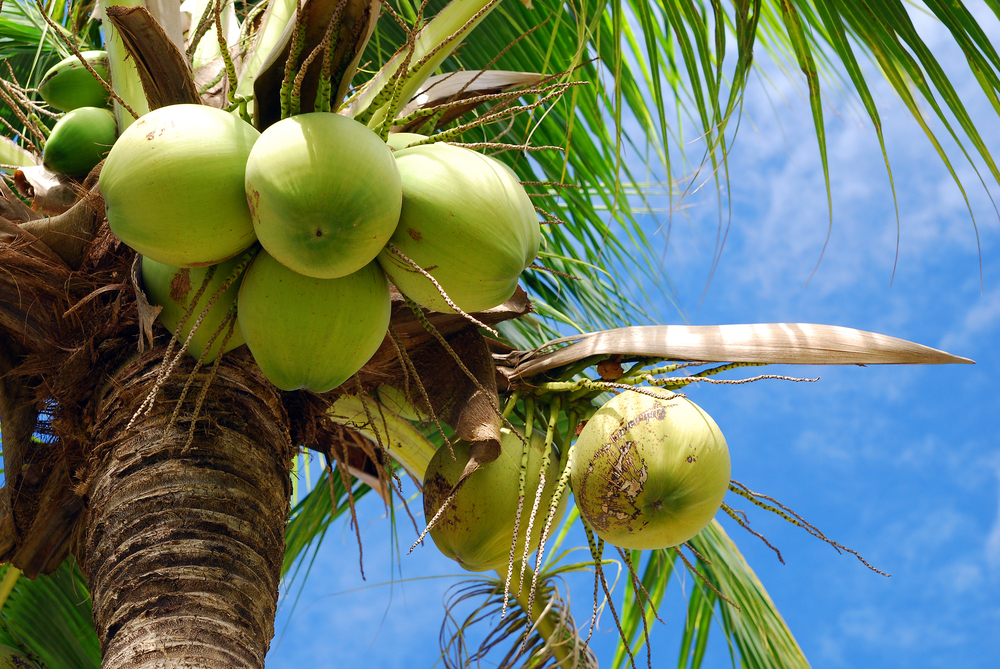 Body - coconut tree